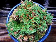 20110611chuugokunohana