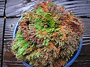 20111009chuugokunohana