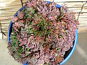 20111126chuugokunohana