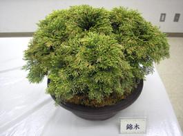 20150607nishikigi_4